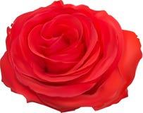 Fioritura della rosa rossa su bianco Fotografie Stock Libere da Diritti
