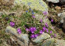 Fioritura delle piante della montagna Fotografia Stock Libera da Diritti