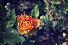 Fioritura delle rose gialle Fotografie Stock Libere da Diritti