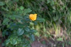 Fioritura delle rose gialle del germoglio Fotografia Stock Libera da Diritti