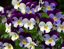Fioritura delle viole del pensiero porpora e bianche, wittrockiana della viola nel giardino fotografie stock libere da diritti