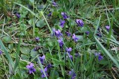 Fioritura delle viole fragranti nel parco in primavera nave Fotografia Stock Libera da Diritti