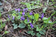 Fioritura delle viole fragranti nel parco in primavera nave Immagine Stock Libera da Diritti