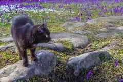 Fioritura dello zafferano selvaggio, croco selvaggio in molla in anticipo, germinazione della prima pianta da sotto neve, Ucraina Fotografia Stock