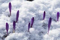 Fioritura dello zafferano selvaggio, croco selvaggio in molla in anticipo, germinazione della prima pianta da sotto neve, Ucraina Fotografie Stock