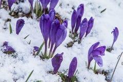 Fioritura dello zafferano selvaggio, croco selvaggio in molla in anticipo, germinazione della prima pianta da sotto neve, Ucraina Immagini Stock