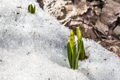 Fioritura dello zafferano selvaggio, croco selvaggio in molla in anticipo, germinazione della prima pianta da sotto neve, Ucraina Immagini Stock Libere da Diritti