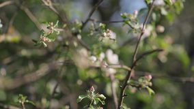 Fioritura di di melo a maggio video d archivio