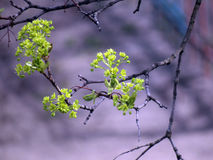 Fioritura di di melo su un albero fotografia stock libera da diritti