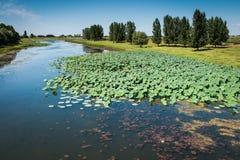 Fioritura di Lotus nel delta del Volga, Russia Fotografie Stock Libere da Diritti