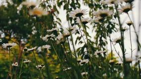Fioritura di fioritura lussuosa delle margherite nel giardino di estate video d archivio