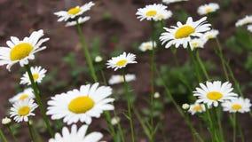 Fioritura di fioritura lussuosa delle margherite nel giardino di estate archivi video