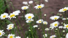 Fioritura di fioritura lussuosa delle margherite nel giardino di estate stock footage