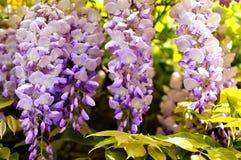 Fioritura di mattina: Macro fioriture di glicine Immagine Stock
