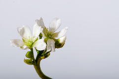 Fioritura di muscipula del Dionaea sulla fine di bianco Immagini Stock Libere da Diritti