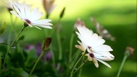 Fioritura di Osteospermum archivi video