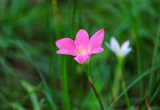 Fioritura di rosa delle speci di zephyranthes Fotografie Stock