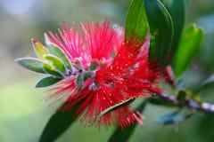 Fioritura di rosso del fiore del Bottlebrush Fotografia Stock Libera da Diritti