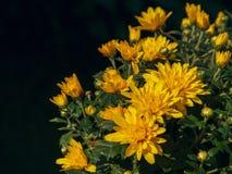 Fioritura di un crisantemo giallo in foglie verdi in un mazzo Fotografia Stock
