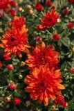Fioritura di un crisantemo rosso in foglie verdi in un mazzo a Fotografie Stock
