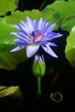 Fioritura di un fiore di loto sullo stagno Fotografia Stock
