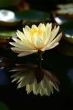 Fioritura di un fiore di loto sullo stagno Immagine Stock Libera da Diritti
