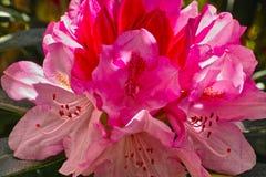 Fioritura di una peonia rosa dettagliatamente Immagini Stock