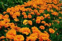 Fioritura dorata dei fiori nei gruppi immagini stock libere da diritti