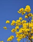 Fioritura dorata dell'albero Immagini Stock