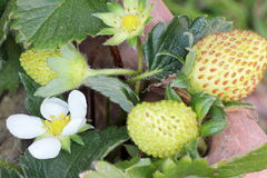 Fioritura e fragole verdi Immagini Stock Libere da Diritti