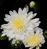 Fioritura e germogli del crisantemo infradiciati pioggia immagini stock