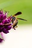 Fioritura e vespa del fiore dell'allium della bacchetta Fotografie Stock Libere da Diritti