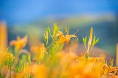Fioritura flowerTawny dell'emerocallide dell'emerocallide arancio Fotografia Stock