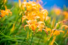 Fioritura flowerTawny dell'emerocallide dell'emerocallide arancio Fotografia Stock Libera da Diritti