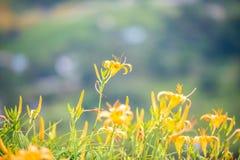 Fioritura flowerTawny dell'emerocallide dell'emerocallide arancio Fotografie Stock