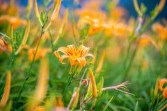 Fioritura flowerTawny dell'emerocallide dell'emerocallide arancio Fotografie Stock Libere da Diritti