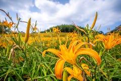 Fioritura flowerTawny dell'emerocallide dell'emerocallide arancio sopra l'intero Mounta Fotografia Stock Libera da Diritti