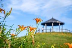 Fioritura flowerTawny dell'emerocallide dell'emerocallide arancio sopra l'intero Taimal Fotografia Stock Libera da Diritti