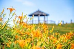 Fioritura flowerTawny dell'emerocallide dell'emerocallide arancio sopra l'intero Taimal Immagini Stock Libere da Diritti
