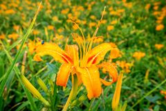 Fioritura flowerTawny dell'emerocallide dell'emerocallide arancio sopra l'intero Taimal Immagini Stock