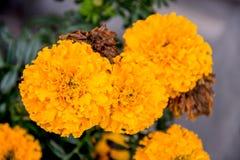 Fioritura gialla del fiore del tagete bella in giardino Erecta di tagetes, tagete messicano, tagete azteco, tagete africano Immagini Stock