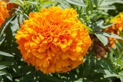 Fioritura gialla del fiore del tagete bella in giardino Erecta di tagetes, tagete messicano, tagete azteco, tagete africano Fotografie Stock Libere da Diritti