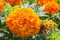 Fioritura gialla del fiore del tagete bella in giardino Erecta di tagetes, tagete messicano, tagete azteco, tagete africano Fotografie Stock