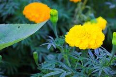 fioritura gialla del fiore del tagete bella in giardino (tagetes e Immagine Stock