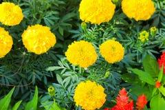 fioritura gialla del fiore del tagete bella in giardino (tagetes e Fotografie Stock