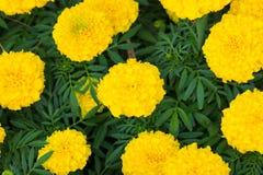 fioritura gialla del fiore del tagete bella in giardino (tagetes e Immagini Stock Libere da Diritti