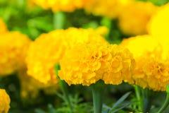 fioritura gialla del fiore del tagete bella in giardino (tagetes e Fotografia Stock