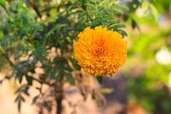 fioritura gialla del fiore del tagete bella in giardino (tagetes ere Immagini Stock
