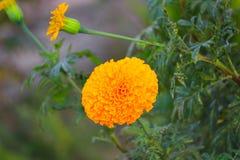 fioritura gialla del fiore del tagete bella in giardino (tagetes ere Fotografia Stock