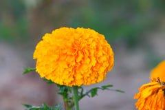 fioritura gialla del fiore del tagete bella in giardino (tagetes ere Fotografia Stock Libera da Diritti